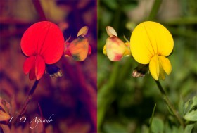 Lotus-corniculatus-normal-y-uv