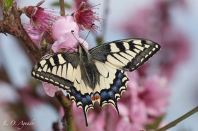 PAPILIO-MACHAON-PRUNUS-PERSICA-E