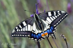 Papilio-machaon-perfecta