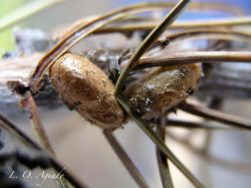 Neodiprion sertifer