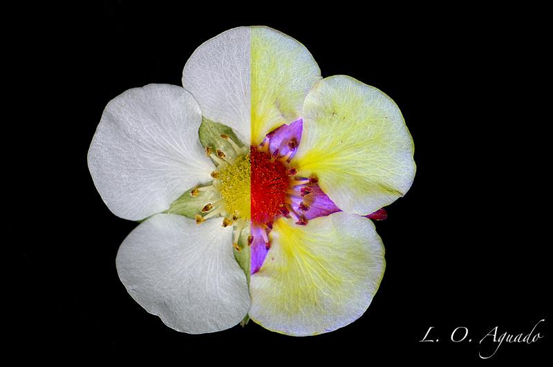 Fragaria x ananassa (fresón cultivado)