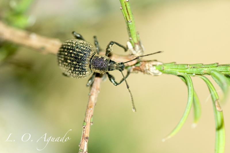 Otiorrhynchus sulcatus